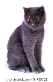 Young British blue cat sitting