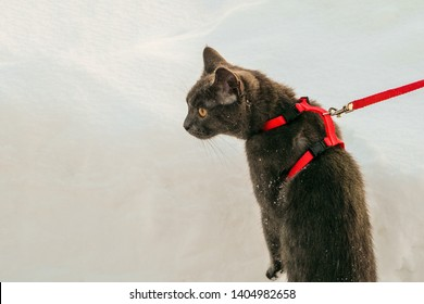 Young British blue shorthair cat in harness on a winter walk. Gray cat on the leash among the snow.
