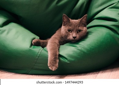 Young British Blue Shorthair Cat on a Green chair bag. Gray cat lying with dangling paw.