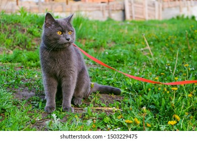 Young British blue shorthair cat in harness on a summer walk. Beautiful purebred gray cat sitting on the grass.
