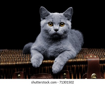 Young british cat lying on suitcase and looking at camera