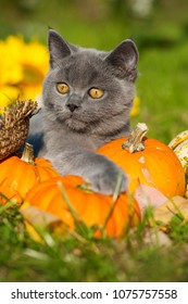 Young british shorthair cat with autumn decoration