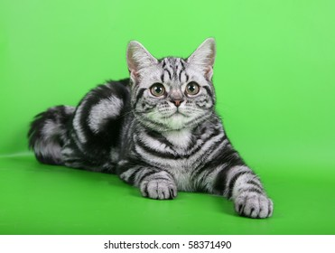 Young british short-haired cat on green background