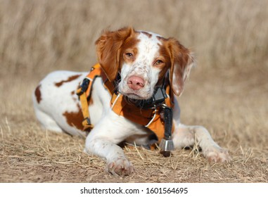 Young Brittany Spaniel bird hunting dog portrait laying in a field