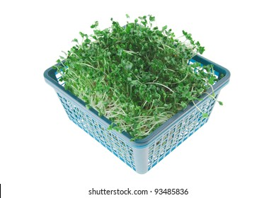 young broccoli sprout in basket