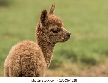 young brown alpaca on the grass
