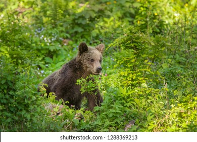 Young brown bear in the forest.