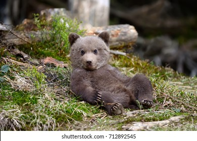 Young brown bear in the forest. Portrait of brown bear. Animal in the nature habitat. Cub of brown bear without mother.