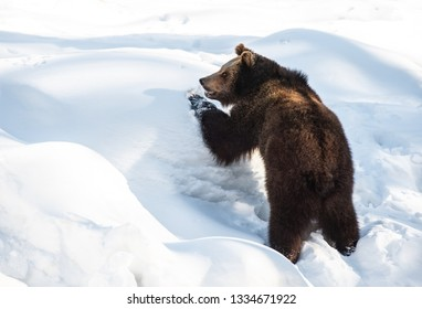 young brown bear playing in the snow in winter - National Park Bavarian Forest - Germany