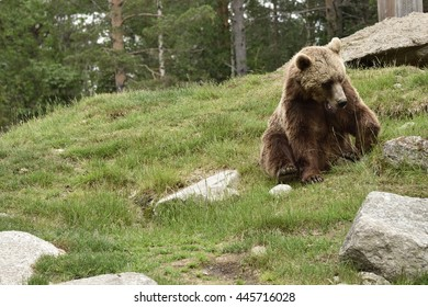 Young Brown bear (Ursus arctos) sitting in the grass in a park in the Northern Sweden.