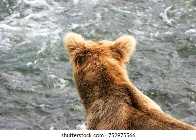 A young brown bear watching the water for a fish