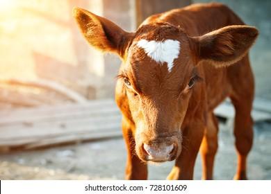 A young brown calf at an agricultural farm