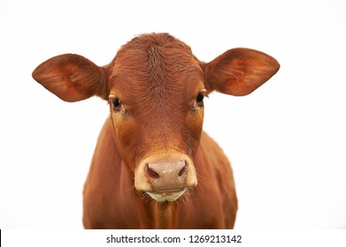 A young brown chesnut coloured calf, face only, looking at camera, against white background, isolated, with copy space