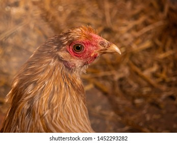 young brown chicken in a barn