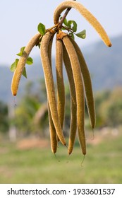 Young brown color pods of Tabebuia chrysantha Nichols tree or Golden Tree or Tallow Pui tree, the old mature pods can be used for breeding