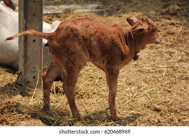 young brown cow, on glass field