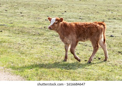 Young brown cow out in free range green pasture, peaceful rural scene, calf walking