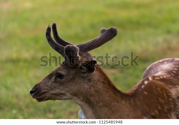 Young brown deer portrait head with antlers on grass background
