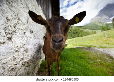 Young brown goat at an Alpine Chalet in Austria