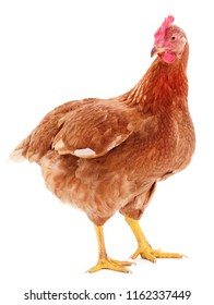 Young brown hen isolated on white background.