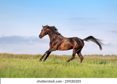 Young brown horse galloping, jumping on the field on a neutral background