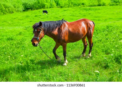 young brown horse on the grassland