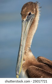Young brown pelican with water background