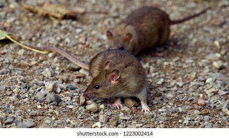 Young Brown Rats