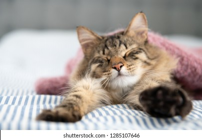 Young Brown Tabby Cat Stretching Under Pink Blanket
