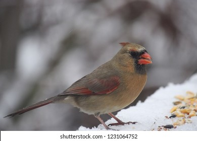 A young brownish red cardinal perched on a snowy porch railing  eating birdseed.