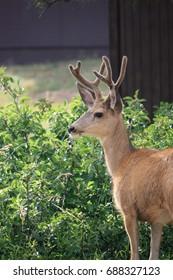 Young Buck Deer