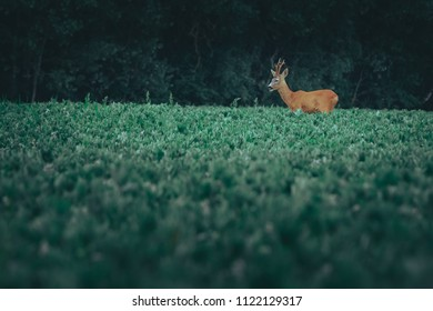Young buck eating at crop field at summertime. Hunter scouting for wildlife in countryside. Alerted animal looking around for protection. Dark green crops.