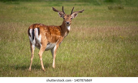 Young buck, male fallow deer in San Rossore Park, Pisa, Tuscany, Italy. Posing for the camera and cute.