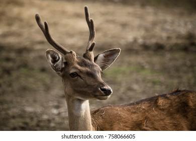 Young buck portrait