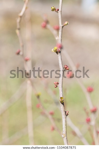 Young buds on a branch