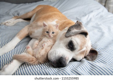 Young Buff Kitten Hanging out with Old Boxer Mix Dog