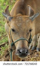 young buffalo in asia thailand