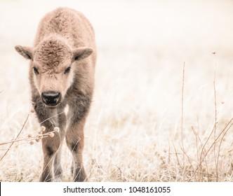 Young buffalo calf