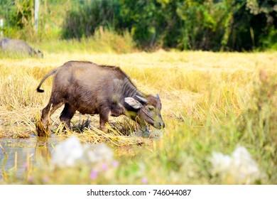 Young buffalo eating grass