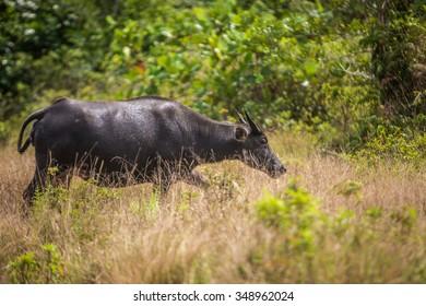 Young buffalo in its habitat.