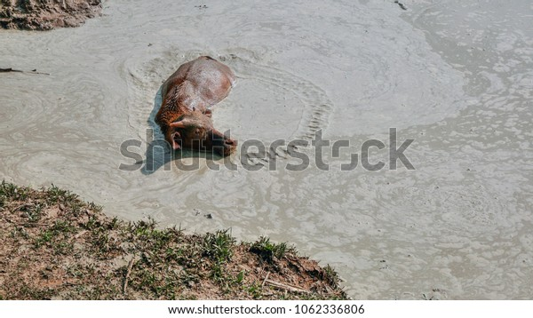 young buffalo into the mud pond in Thailand