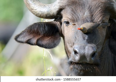 A young buffalo makes use of an oxpecker to rid itself of bugs and ticks. It portrays a symbiotic relationship between both animals. The picture was taken in the Chobe National Park in June 2016