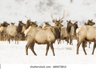 Young bull elk in deep snow in winter on National Elk Refuge
