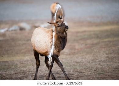 A young bull elk with a rope stuck in his antlers that are shedding