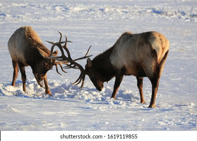 Young bull elk spar on the snow covered National Elk Refuge in winter near Jackson Wyoming