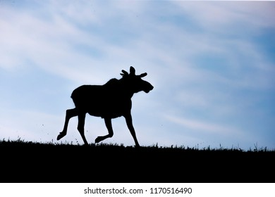 A young bull moose Alces alces at the break of dawn silhouetted against a beautiful blue sky