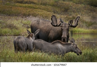 A young Bull Moose (Alces alces) and twin calves share a kettle hole pond in the west of Grassy Pass area of Denali National Park, Alaska.