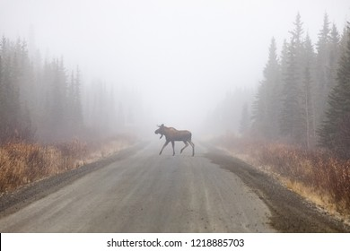 Young Bull Moose in foggy Road