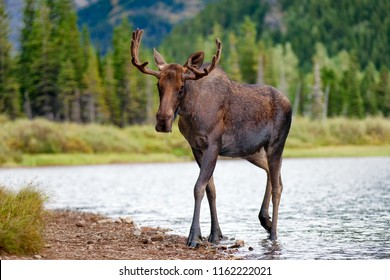 Young bull moose walking from lake in Glacier National Park, Montana
