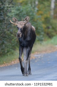 A young bull moose walks down a street in Wilmington, Vermont, USA, in early autumn.